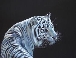 Winter Sun - tiger
