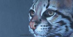 Cats Eyes Series - Ocelot