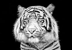 Watching - tiger