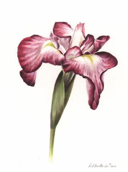 SALE Iris flower medium card