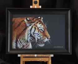 Beauty - tiger
