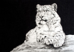 Snow Leopard in charcoal