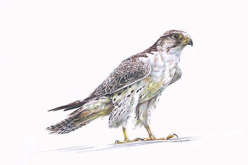 SALE Saker Falcon signed mounted print