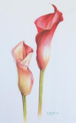Canna Lillies