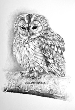 Tawny Owl pencil drawing