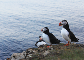 puffins.png