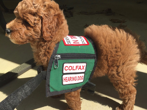 What happened when I tried to train my own service dog