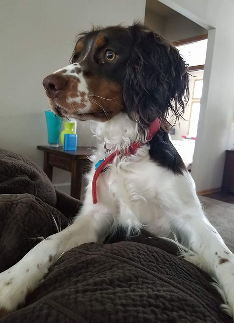 English Springer Spaniels | Wisconsin | Storyside Springers