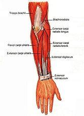 forearm-tendonitis.jpg