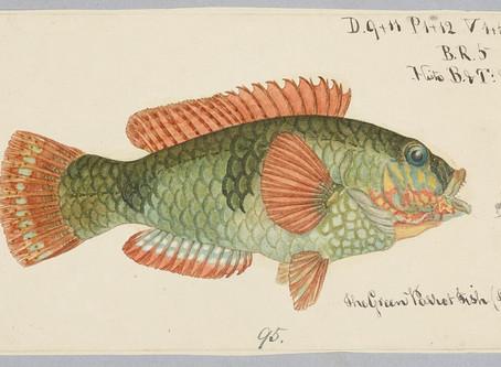 Leppefiskforsker: Et stort økologisk eksperiment !