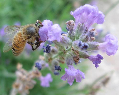 Lavender, Folgate