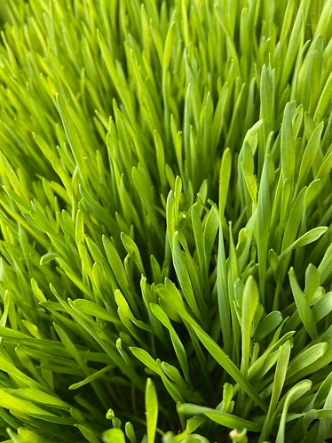 Wheatgrass (for juicing)