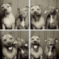 pit-bulls-photo-booth-cute-dogs-lynn-ter
