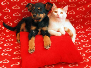 Valentine's Day For Your Fur Baby Exactly why they need to forego the chocolate...