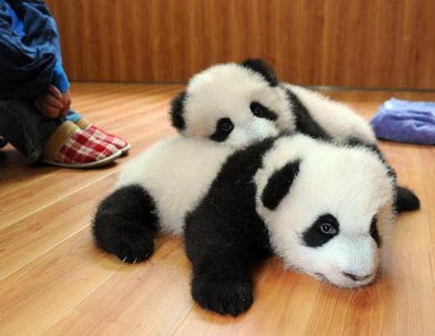 cuddlepandas.jpg