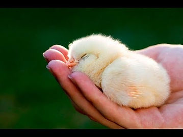 chickk.jpg