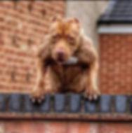 jacked muscle terrier.jpg