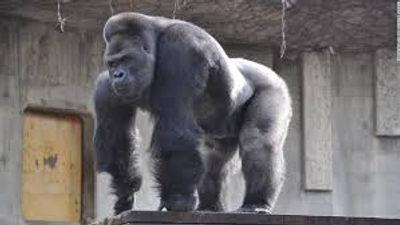 girthy gorilla.jpg