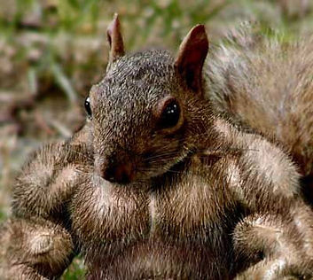 muscled-squirrel.jpg