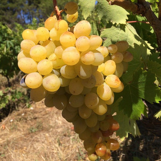 Grapes to be harvested