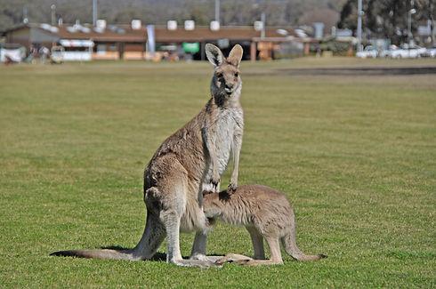 Golf course kangaroos.jpg