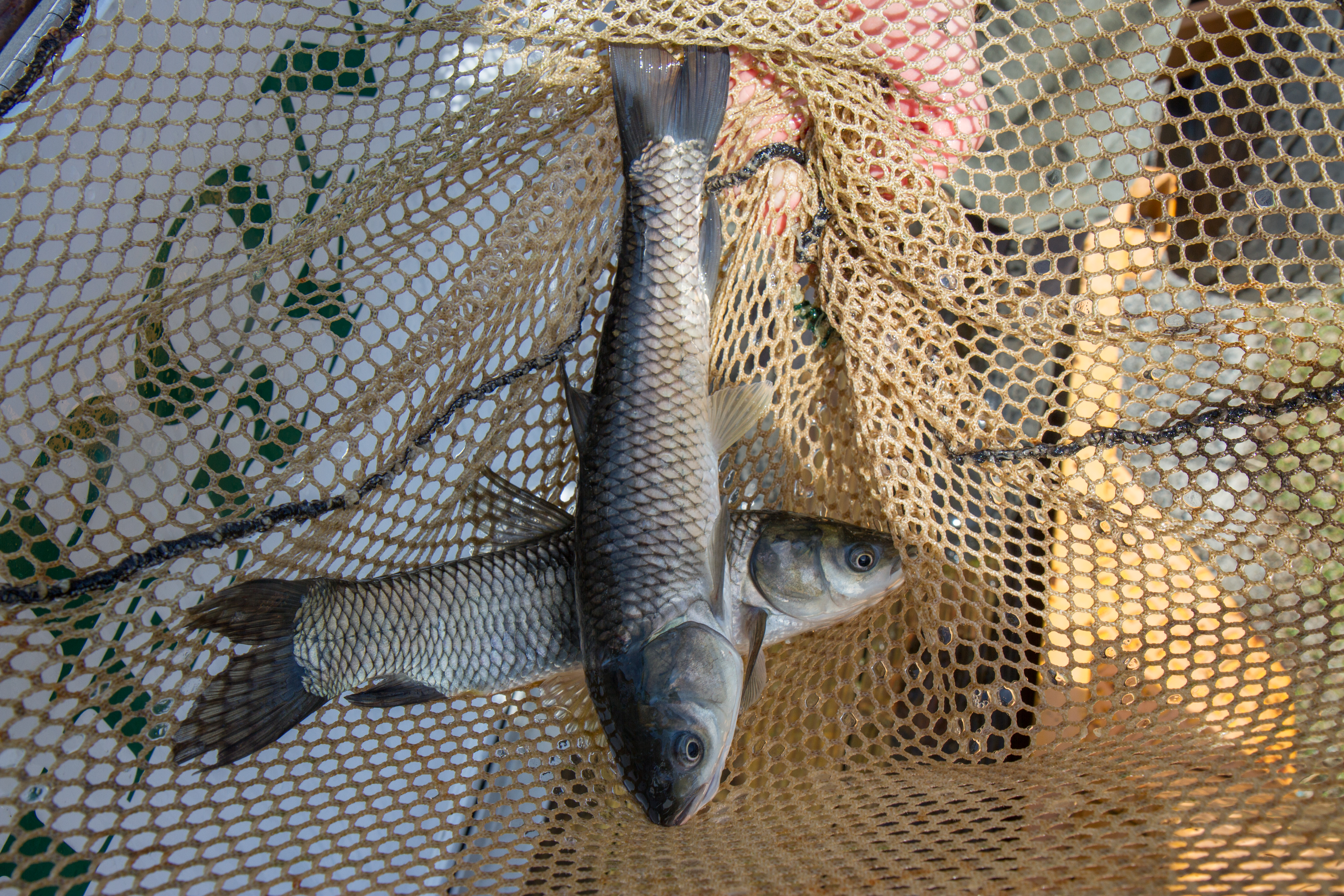 5 Facts: Candlewood Grass Carp