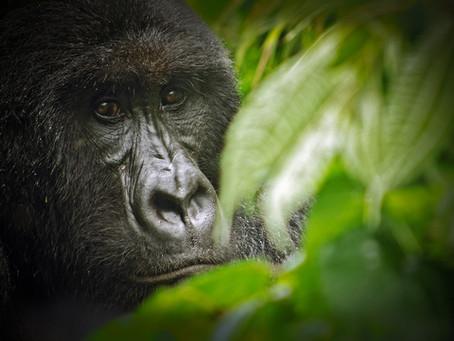 Virunga - A 'Gallic' park in East-Congo