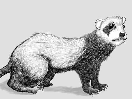 Ambiguous Merit of the Ferret