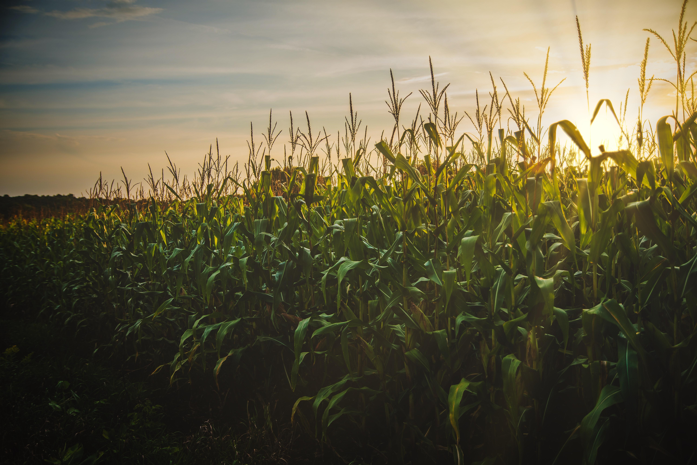 corn-field-1382102