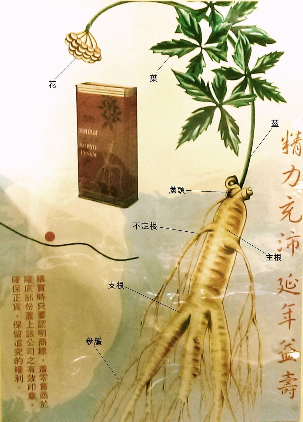 植物人參外觀與結構