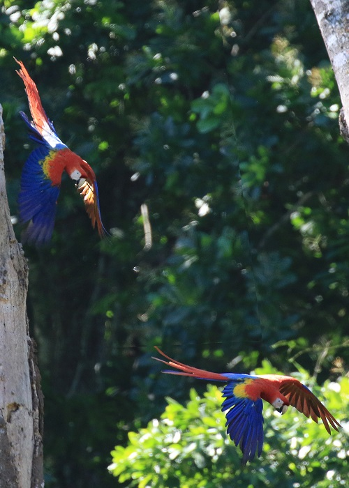 Macaws Photo by Sheila Chambers.jpg