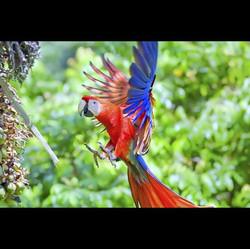 Scarlet Macaw flying.jpg