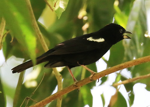 White-shouldered Tanager Photo by Sheila Chambers.jpg