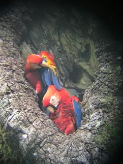 Scarlet Macaws Nesting..JPG