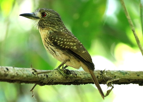 White-whiskered Puffbird Photo by Sheila Chambers.jpg