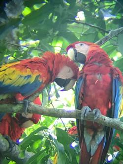 Scarlet Macaws lovers.JPG