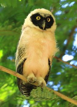 Spectacled Owlet.jpg
