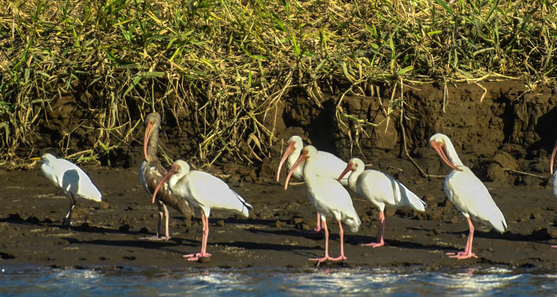 White Ibis by Ann Jorgensen.jpg