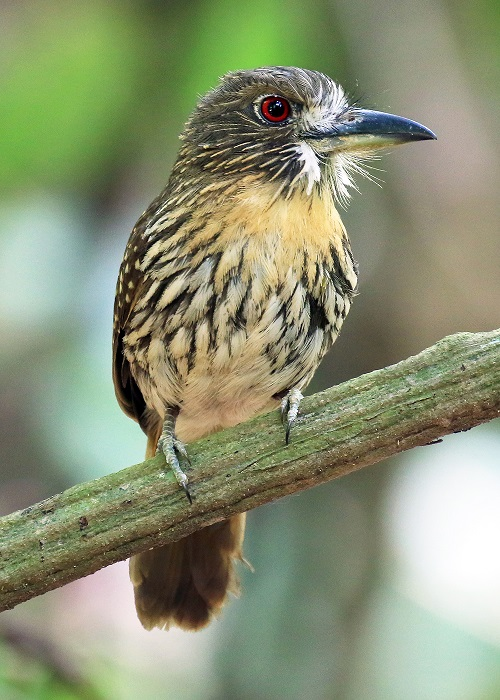 White-whiskered Puffbird_2 Photo by Sheila Chambers.jpg