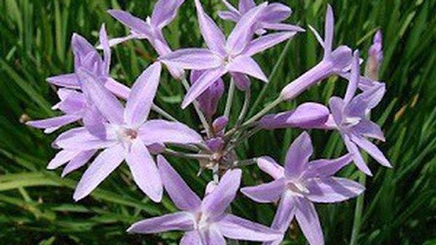 flor de ajo
