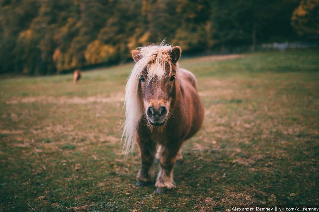 Альпийская пони