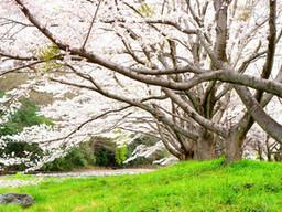 r011/4月/桜