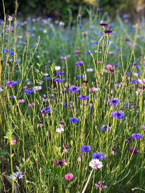Yagurumaguiku flowers