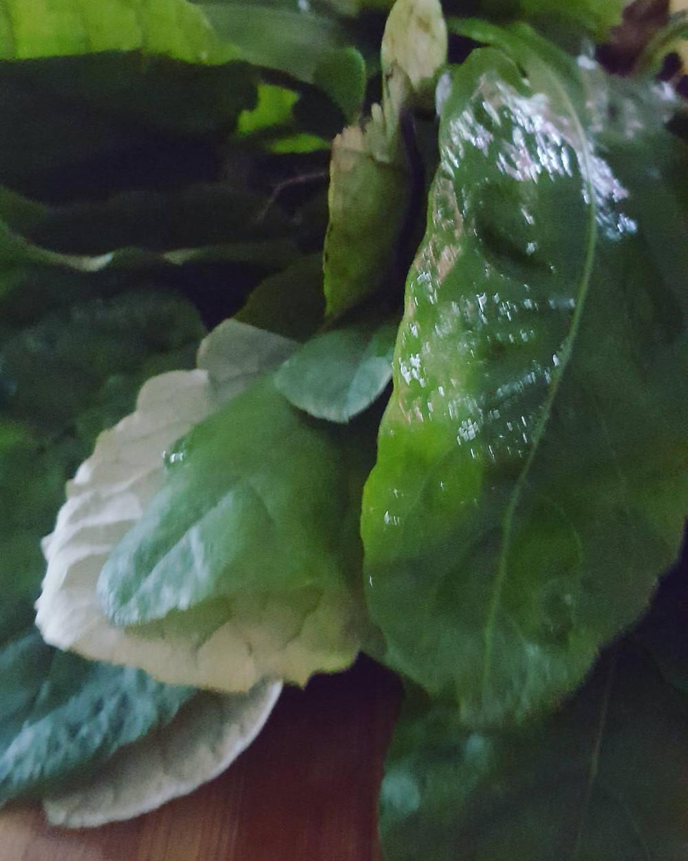Harvest. Dandelion for a customer.