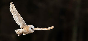 Barn-owl%2520in%2520the%2520evening%2520