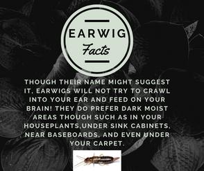 Earwig1.png