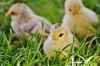 animal-baby-chicks-162164.jpg