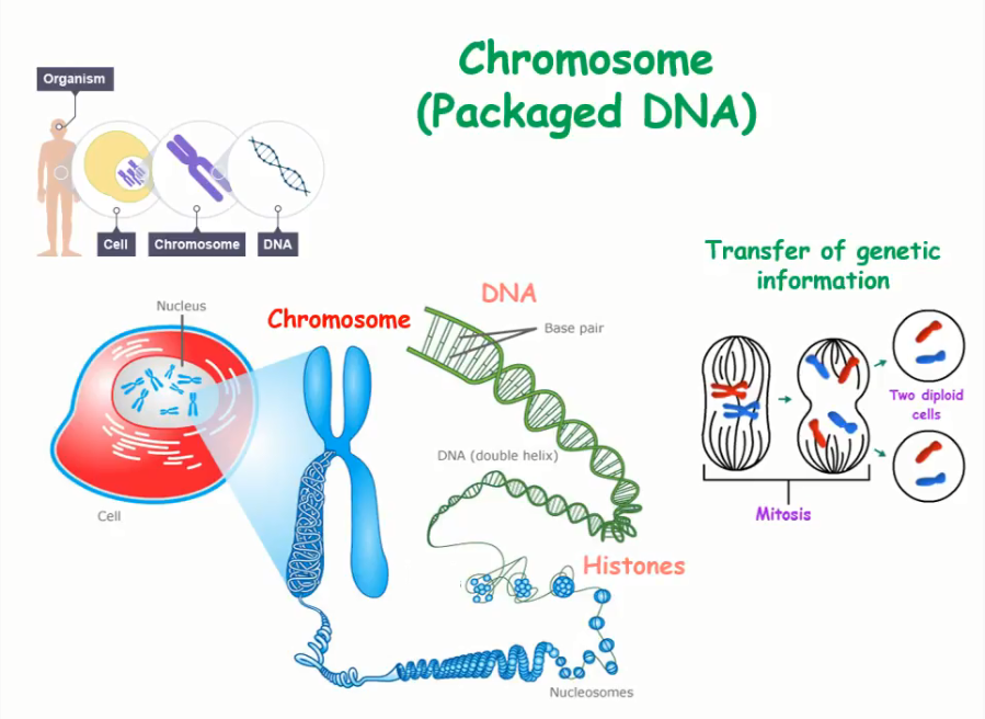 Where DNA and Chromosomes are Found