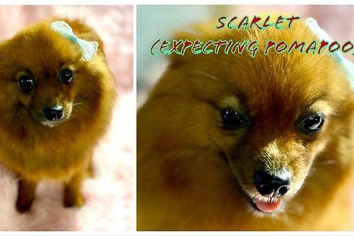 Scarlet $1500