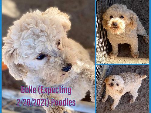 Belle pups $1800 female